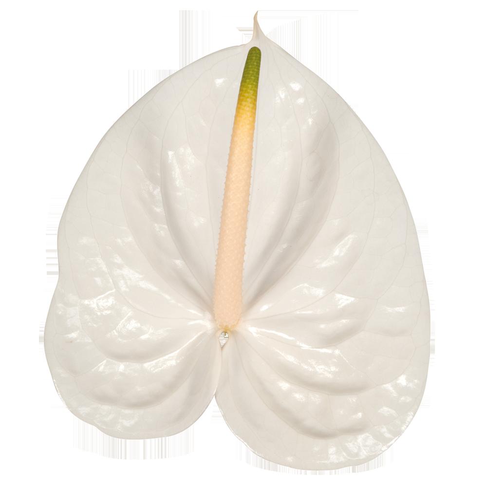aspire_kwiat