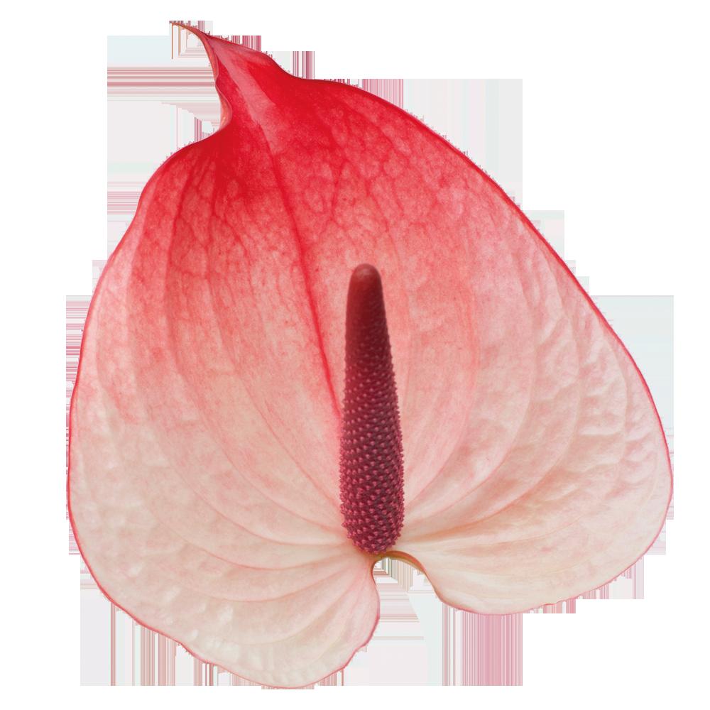 avenir_kwiat