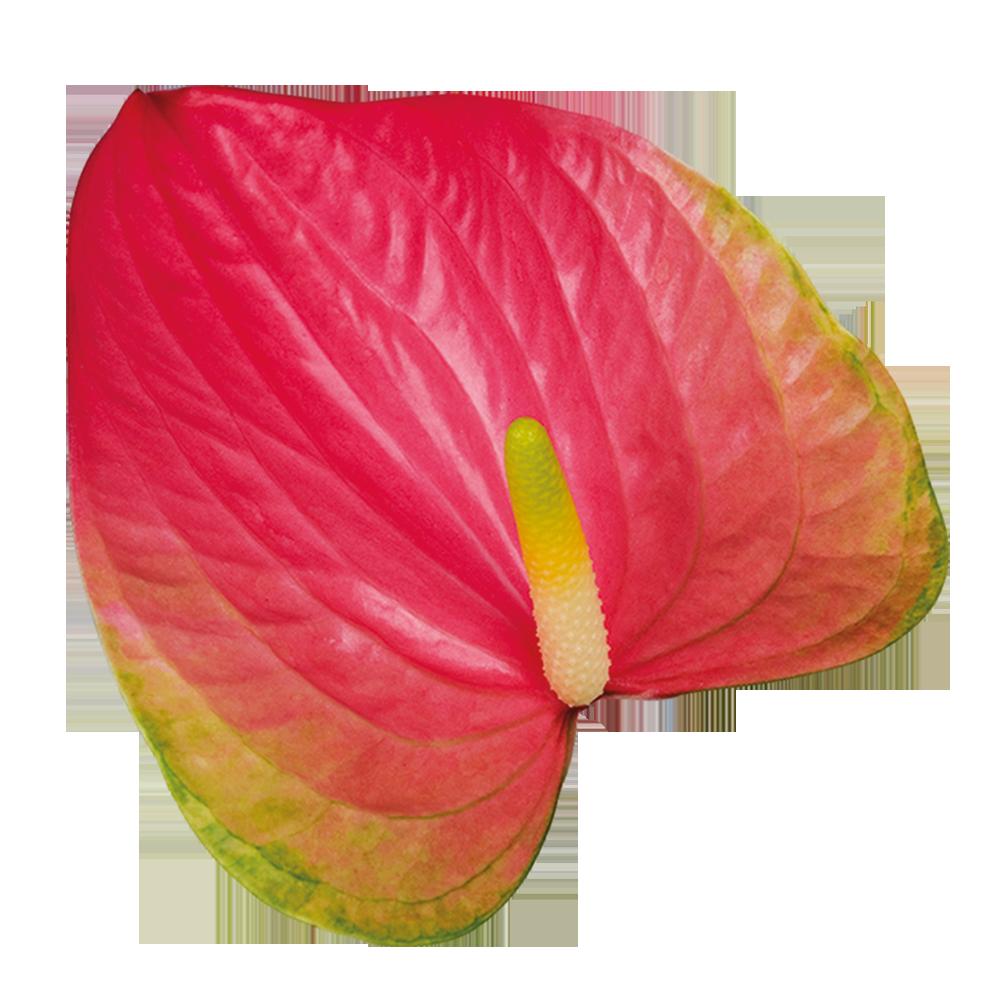 feska_kwiat