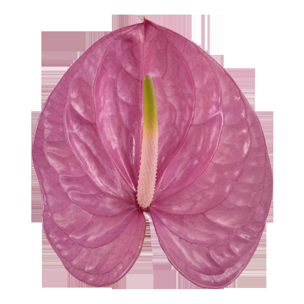 kaleo_kwiat