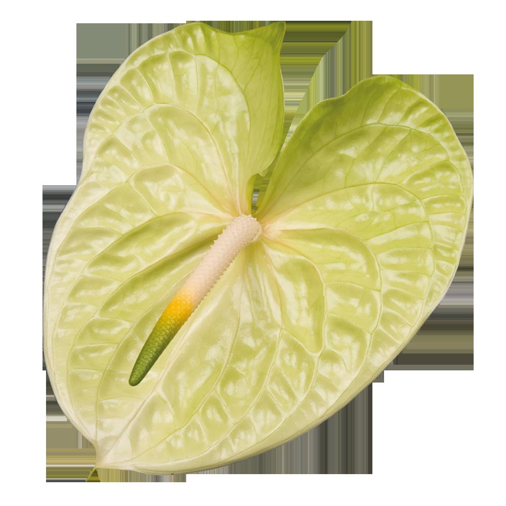 lemona_kwiat