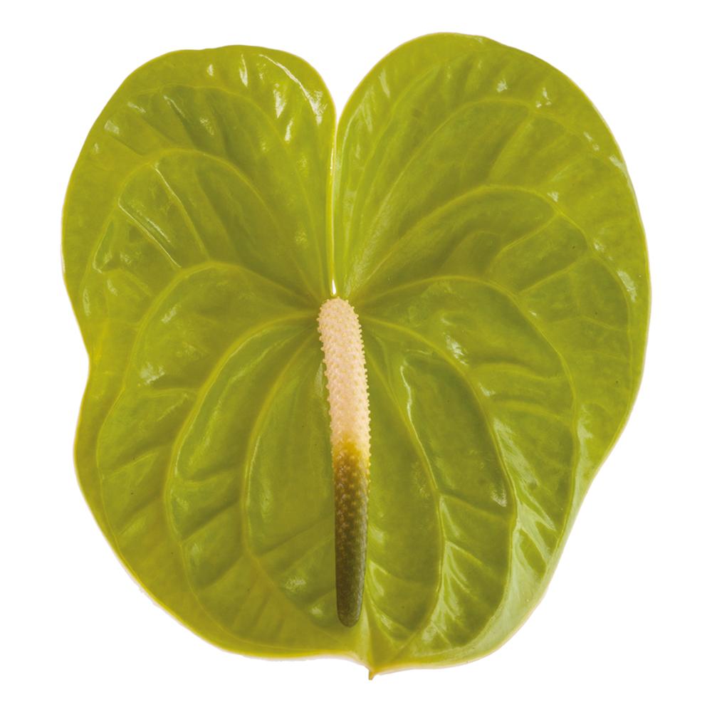 midori_improved_kwiat