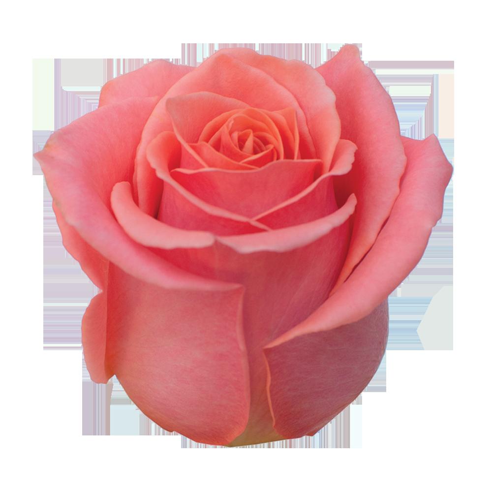 roze_khalida