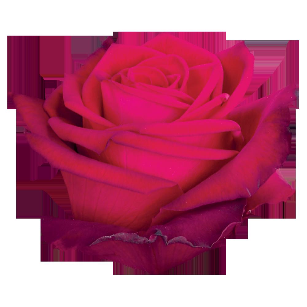 roze_montana