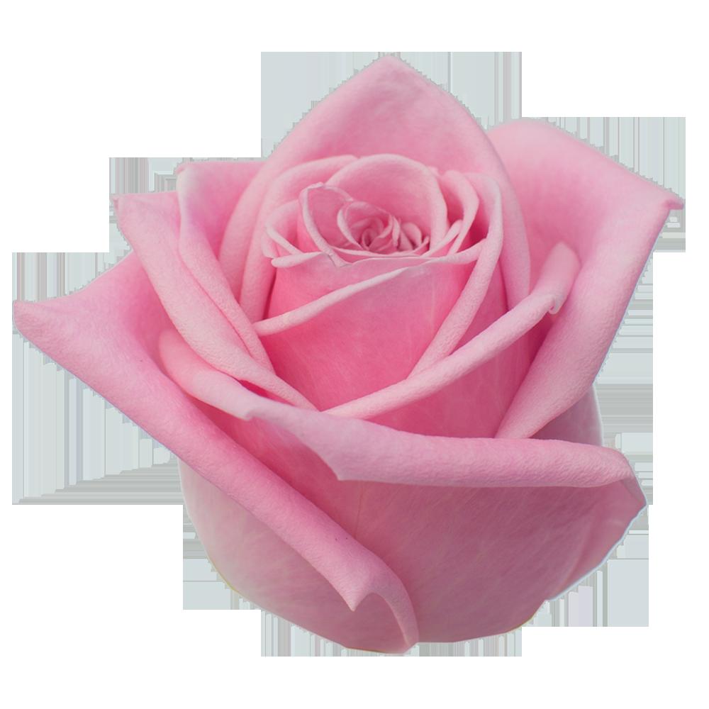 roze_shannon