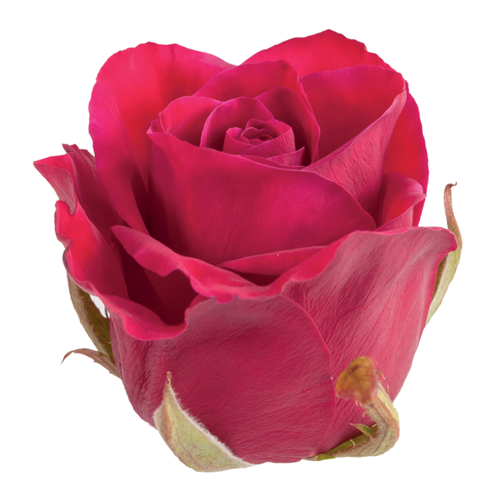 roze_spectre