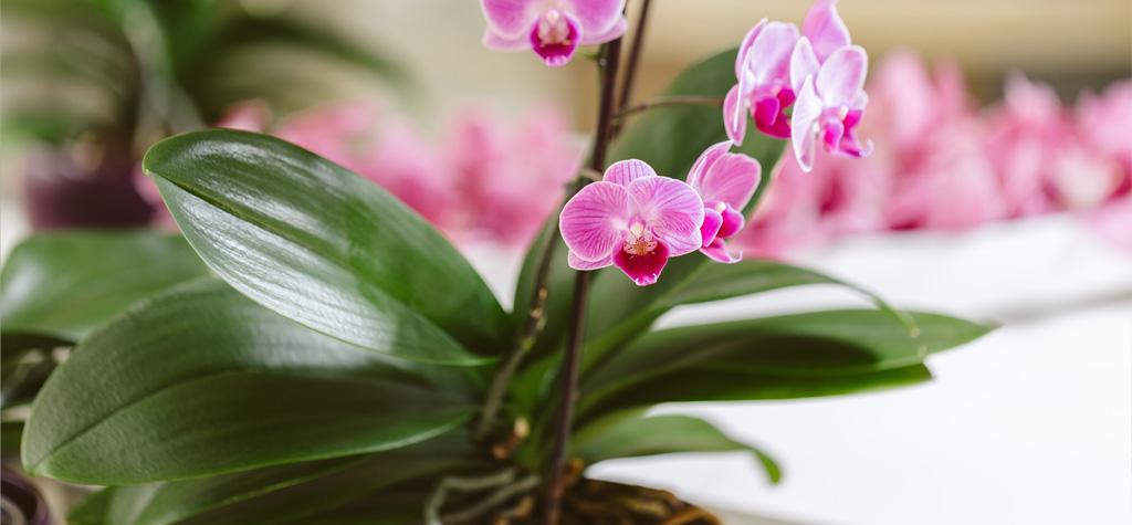 Czy można przesadzić Phalaenopsis do gruntu?
